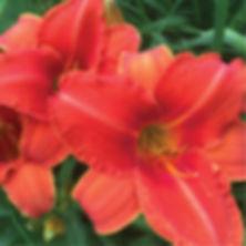 Hemerocallis Alabama Jubilee - Daylily.j