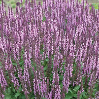 Salvia n. Sensation Deep Rose.jpg