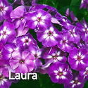 Phlox pan. Laura - Tall Phlox.jpeg