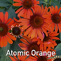 Echinacea Atomic Orange - Coneflower