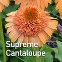 Echinacea Supreme Cantaloupe - Coneflowe