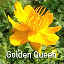 Trollius c. Golden Queen - Chinese Globe