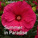 Hibiscus Summer in Paradise - Rose Mallow.