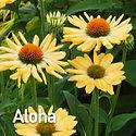 Echinacea Aloha - Coneflower.jpeg
