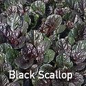 Ajuga Black Scallop - Bugle Weed