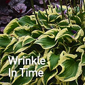Hosta Wrinkle in Time.jpeg