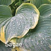 Hosta Sagae