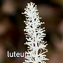 Chamaelirium luteum - Fairy Wand