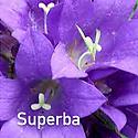 Campanula Superba - Clustered Bellflower