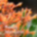 Agastache Kudos Mandarin - Hummingbird Mint