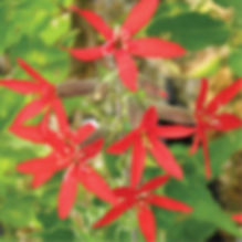 Silene regia - Royal Catchfly.jpg