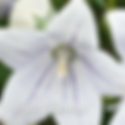 Platycodon Fairy Snow - Balloon Flower.
