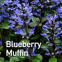 Ajuga Blueberry Muffin - Bugle Weed.jpeg