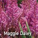 Astilbe Maggie Daley