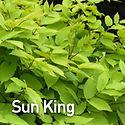 Aralia c. Sun King - Japanese Spikenard.
