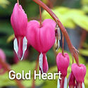Dicentra s. Gold Heart - Bleeding Heart.
