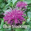 Monarda Blue Stocking - Bee Balm.jpeg