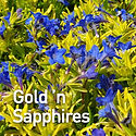 Lithodora Gold n Sapphires - Gromwell.jp