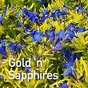 Lithodora Gold n Sapphires - Gromwell.jp