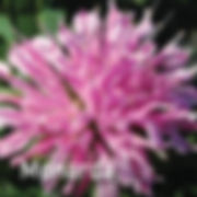 Monarda Grand Mum - Bee Balm
