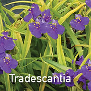 Tradescantia Lucky Charm - Spiderwort