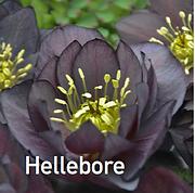 Hellebore Dark & Handsome - Lenten Rose.