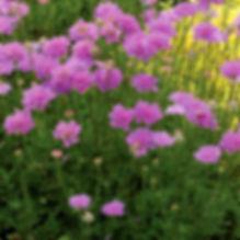 Scabiosa Vivid Violet - Pincushion Flower.