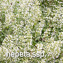 Calamintha nepeta - 2021 Perennial of th
