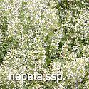Calamintha nepeta - 2021 Perennial of th