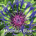 Centaurea m. Blue - Mountain Bluet
