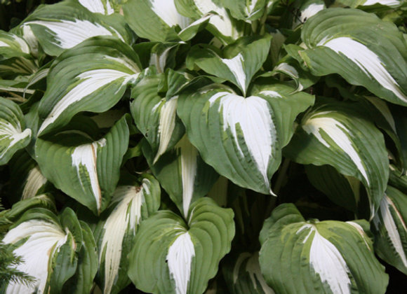 Hosta 'Night Before Christmas'