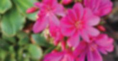 Lewisia Constant Fuchsia - Cliff Maids