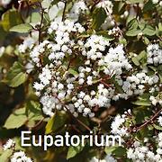 Eupatorium Chocolate - Joe Pye.