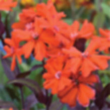 Lychnis Orange Gnome - Maltese Cross.jpg
