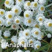 Anaphalis m. Pearly Everlasting