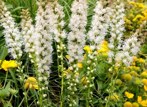 Liatris s. 'Floristan White'