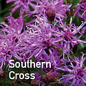 Vernonia Southern Cross - Iron Weed