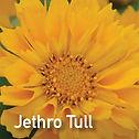 Coreopsis Jethro Tull - Tickseed