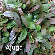 Ajuga Chocolate Chip - Bugle Weed