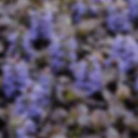 Ajuga Black Scallop - Bugle Weed.jpg