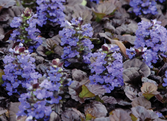 Ajuga r. 'Black Scallop'