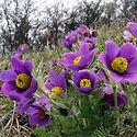 Pulsatilla vulgaris - Pasque Flower.jpeg