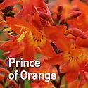 Crocosmia Prince of Orange - Montbretia.