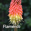 Kniphofia Flamenco - Red Hot Poker.jpeg