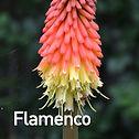 Kniphofia Flamenco - Red Hot Poker.jpeg