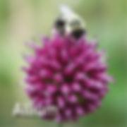 Allium Drumstick