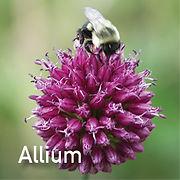 Allium s. Drumstick.