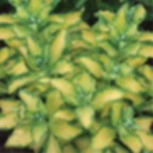 Sedum aureovariegata - Stonecrop.jpg