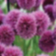 Allium Drumstick.jpg