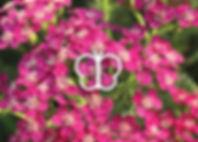 Perennials for Butterflies - Achillea Saucy Seduction
